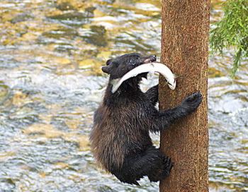 137 видов позвоночных животных питаются лососем. При такой большой конкуренции, чтобы спокойно поесть, медвежонок лезет на дерево. Фото: Клаус Поммеренке
