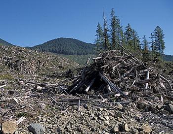 Вырубка подчистую. Даже если насадить такое же количество деревьев, больше не будет девственного леса, кормящего многие виды животных, а только монотонная древесная посадка с малой вегетацией. Фото: Клаус Поммеренке