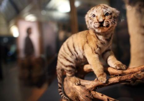 Чучело детёныша вымирающего вида тигров. Фото: Peter Macdiarmid/Getty Images