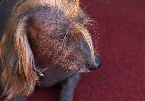 На ежегодном конкурсе «Самая уродливая собака в мире» титул победителя получил Walle – смесь бигля, боксёра и бассета. 21 июня 2013 в Петалума, Калифорния, США. Фото: Justin Sullivan/Getty Images
