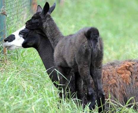 Лама glama – одомашненный вид.Ласковый детеныш. Фото: Getty Images