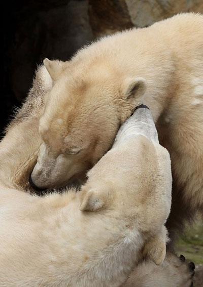 Медведь-лирик.Тихо читает стихи на ушко подруге. Фото:Getty Images