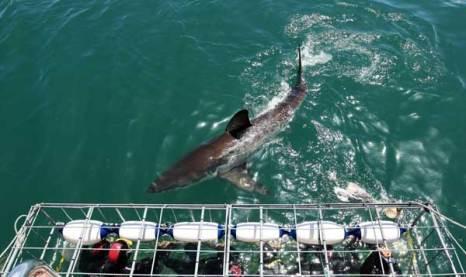 Большая белая акула у берегов Южной Африки. Фото: Dan Kitwood/ Getty Images