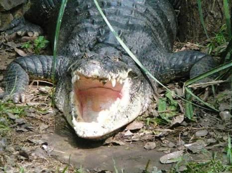 Крокодилы на ферме неподалеку от Ченная, Индия. Фото: Татьяна Виноградова/Великая Эпоха