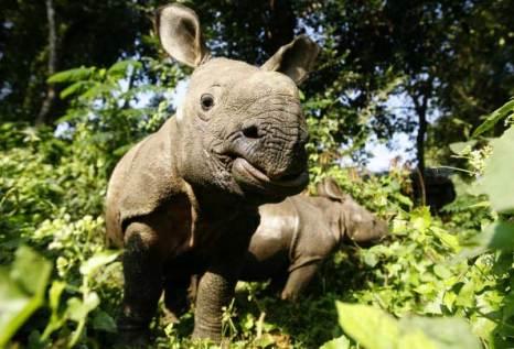 Молодые носороги. Фото: PRAKASH MATHEMA/AFP/Getty Images