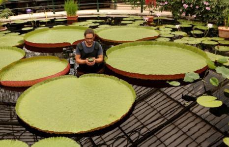 Садовод парков Кью Карлос Магдалена разработал метод выращивания самой маленькой  кувшинки Nymphaea Thermarum Фотообзор. Фото: Oli Scarff/Getty Images