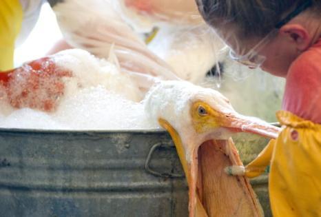 Нефтяное пятно в Мексиканском заливе нанесло огромный ущерб окружающей среде. Добровольцы отлавливают загрязненных нефтью белых и коричневых пеликанов и очищают их от нефти, проявляя большую заботу о птицах. Фоторепортаж.  Фото: SAUL LOEB/AFP/Getty Images