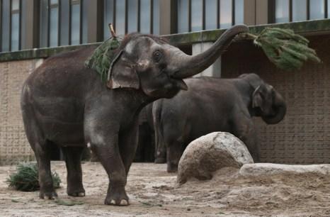 Слоны в зоопарке Берлина получили новогодние ёлки. Фото: Andreas Rentz/Getty Images