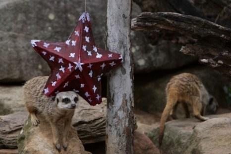 Мангусты получают праздничное угощение в зоопарке Taronga. Фото: Lisa Maree Williams/Getty Images