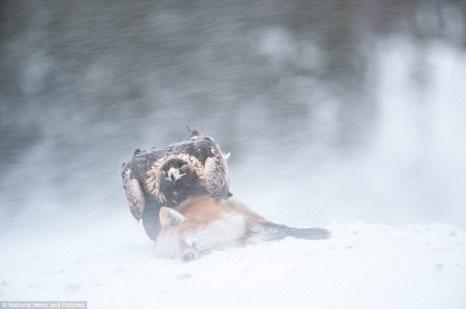 Такой большой птице нужно довольно много пищи. В день беркут должен съедать примерно 1,5 килограмма мяса. Для того, чтобы прокормиться, ему приходится не только охотится. Он не брезгует и найденной падалью. Часто добычей беркута могут стать животные, которые гораздо крупнее, чем он. Вот и на этом фото мы видим, что его добычей стала лисица. Вес  её примерно такой же, как и у птицы, а может и больше. Фото: Ричард Костин