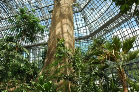 Большие деревья нуждаются в высоком помещении и требуют много света, как у себя на родине. Фото: © I. Haas, Botanischer Garten und Botanisches Museum Berlin-Dahlem