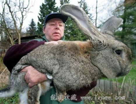 А этот кролик – самый большой в мире! Фото с сайта: ziling.com