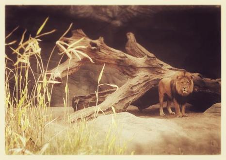Лев в зоопарке Хагенбек (Германия). Фото: Joern Pollex/Getty Images