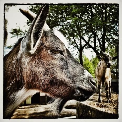Козёл в зоопарке Хагенбек (Германия). Фото: Joern Pollex/Getty Images