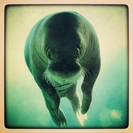 Морж в зоопарке Хагенбек (Германия). Фото: Joern Pollex/Getty Images