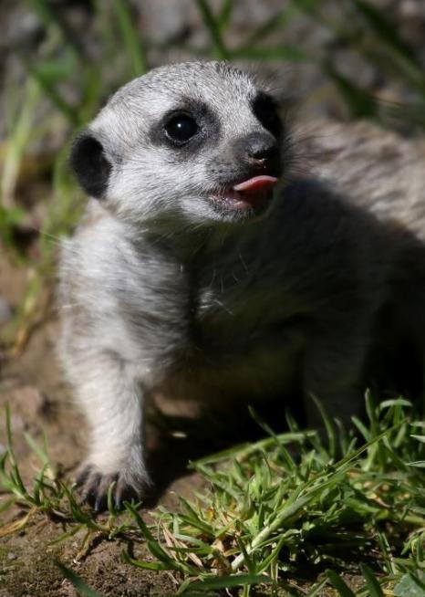 Детёныши сурикатов появились в зоопарке Окленда. Фото: Justin Sullivan/Getty Images