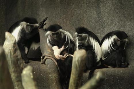 Ангольский колобус родился в зоопарке Брукфильда. Фото: Scott Olson/Getty Images