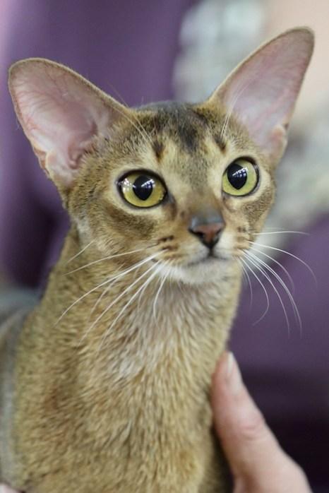 Портрет современного кота. Абиссинская кошка. Фото: Сергей Кузьмин/Великая Эпоха (The Epoch Times)