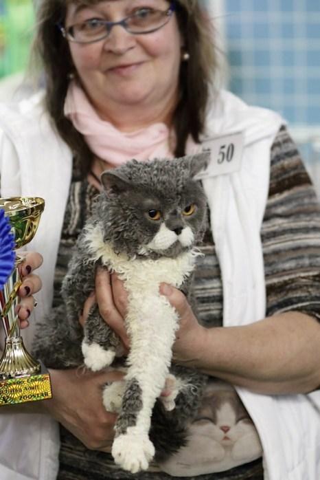 Портрет современного кота. Селкирк рекс. Litter. Фото: Сергей Кузьмин/Великая Эпоха (The Epoch Times)