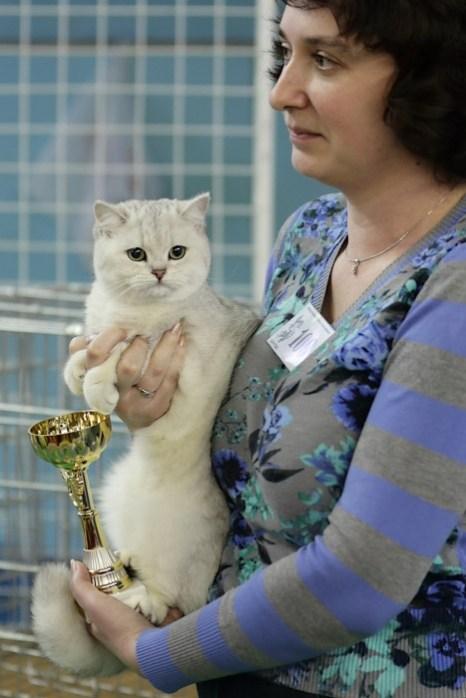 Портрет современного кота. Британская короткошерстная кошка. Фото: Сергей Кузьмин/Великая Эпоха (The Epoch Times)