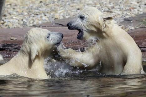 Полярные медведи-близцецы – достопримечательность животного парка в Нюрнберге. Фото с kanzhongguo.com