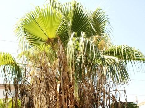 Пальма. Фото: Хава ТОР/Великая Эпоха