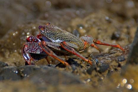Краб с фиолетовыми глазами.  Мадейра. Фото: Сима Петрова/Великая Эпоха (The Epoch Times)