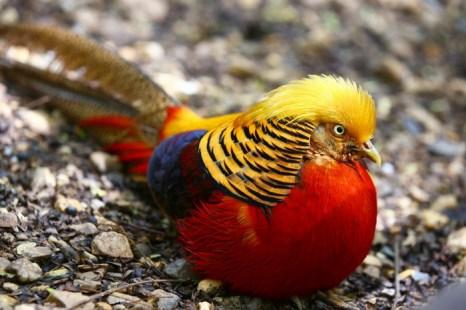 Золотистый фазан. Фото: Shutterstock*