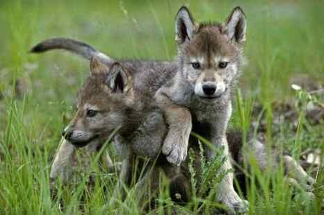 Дикие щенки волка живут вместе с родителями, братьями и тётями в маленькой стае. Фото: Jim and Jamie Dutcher
