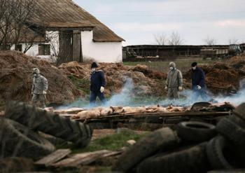 Африканская чума свиней. Фото: STR/AFP/Getty Images)