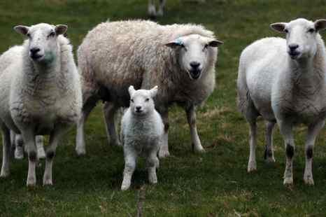 Всероссийская выставка племенных овец открывается в Калмыкии. Фото: Matt Cardy/Getty Images