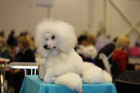 Выставка собак «СИБИРЬ - XXI ВЕК» прошла в Новосибирске. Фото: Сергей Кузьмин/Великая Эпоха (The Epoch Times)