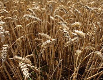 Запрет на экспорт зерновых в 2011 году снимает Россия. Фото: Christopher Furlong/Getty Images