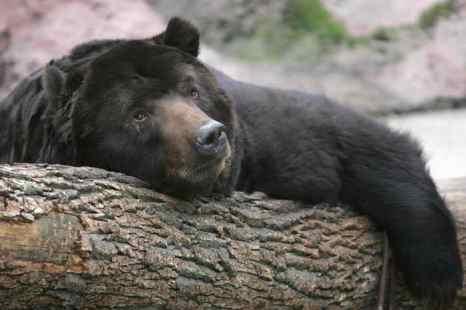 В 2013 году среди охотников Красноярского края добыча медведя не имеет популярности. Фото: DENIS SINYAKOV/AFP/Getty Images