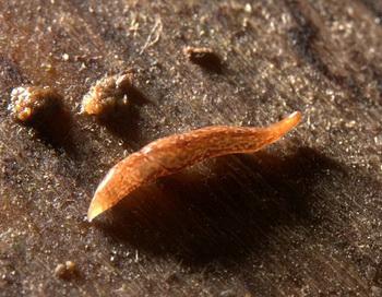 В Британии нашли червяка с 60-ю глазами. Фото с сайта wildlifebcn.org