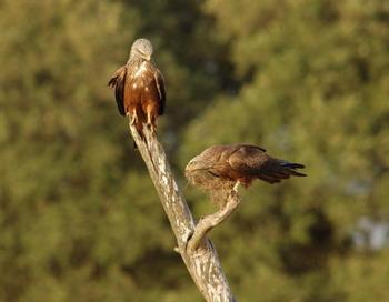 Пара коршунов собирает материал для cтроительства своего гнезда. Фото с сайта theepochtimes.com