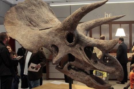 На фотографии, сделанной 13 октября 2011 года в аукционном доме Сотбис в Париже, представлены черепа динозавра трицератопса. Фото: JACQUES DEMARTHON/AFP/Getty Images