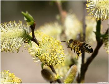 Полет пчелы. Фото: Евгений Безгребельный