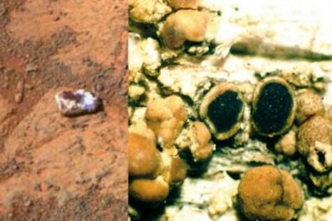 Объект, найденный на Марсе (слева) и апотеций  (тип гриба) на Земле (справа). Раун Габриэль Джозеф, доктор философии, говорит, что объект на Марсе может быть грибом. Фото: NASA (слева), Wikimedia Commons (справа)