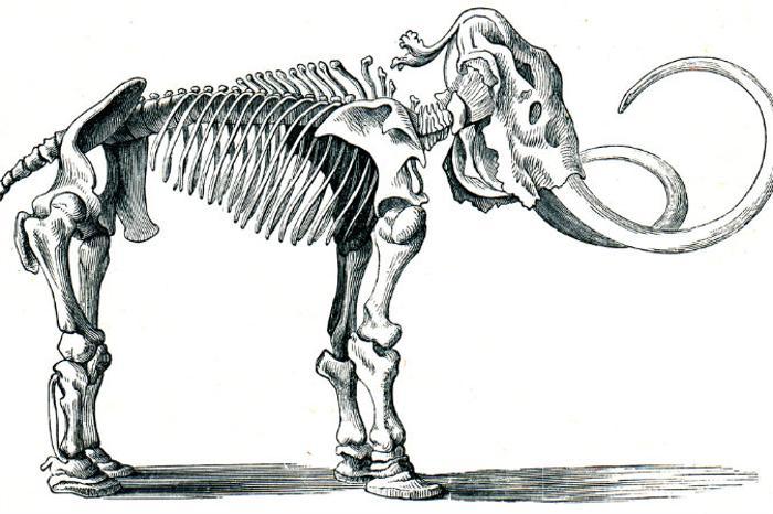 Изображение скелета мамонта. Индейцы по ошибке решили, что эти кости принадлежали гигантскому медведю с негнущимися лапами? Или в канадских лесах действительно обитало существо, похожее на гигантского медведя? Фото: Shutterstock