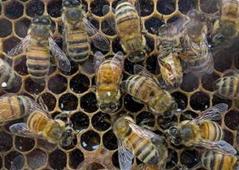 Пчёлы. Фото: PAUL J. RICHARDS/AFP/Getty Images