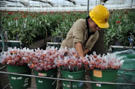 Элитные цветы ко дню Святого Валентина готовит для всего мира фирма Elite flowers. Фоторепортаж. Фото: GUILLERMO LEGARIA/AFP/Getty Images