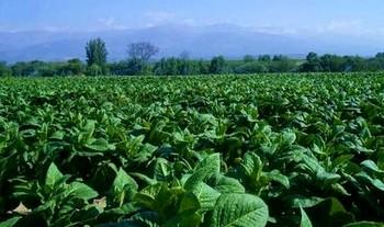Правозащитная организация Human Rights Watch выявила факты фактического использования рабского труда на табачных фермах Казахстана, принадлежащих компании Philip Morris International. Фото: luxury-info.ru