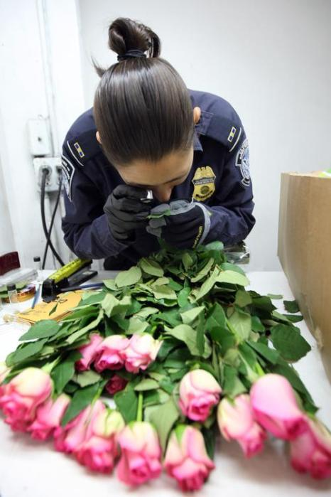 На таможне США проверяют цветы,  импортируемые из Эквадора. Фоторепортаж. Фото: David McNew/Getty Images