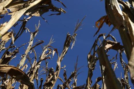 Засуха в США привела к резкому сокращению урожая кукурузы. Фоторепортаж. Фото: Justin Sullivan / Getty Images