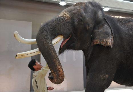 Дрессировщик Чен Гар Ким балует Кошика, 22-летнего азиатского слона, в зоопарке Everland на юге Кореи 2 ноября 2012 г. Кошик может имитировать корейские слова.  Фото: KIM JAE-HWAN/AFP/Getty Images