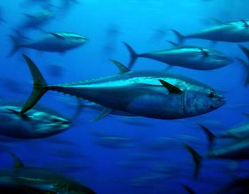 Средиземноморский красный тунец (Tunnus thynnus) пользуется большой популярностью на японском рынке для изготовления суши. В течение 18 месяцев будет положен конец международной торговле красным тунцом. Фото: GAVIN NEWMAN/AFP/Getty Images