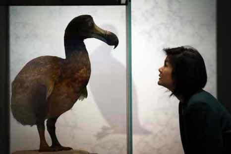 Фрагмент бедренной кости вымершей птицы додо выставят на аукционе в Великобритании. Фото: Peter Macdiarmid/Getty Images