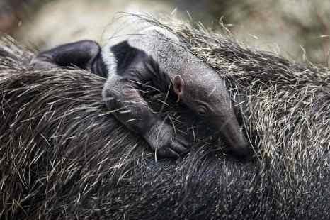 В Коннектикуте самка муравьеда, живущая отдельно от самца, неожиданно родила детёныша. Фото: FREDY AMARILES/AFP/Getty Images