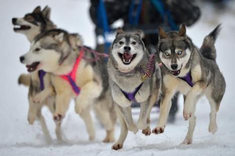 Подготовка к 30 традиционным гонкам на собачьих упряжках в Шотландии, 23 января 2013 года. Фото: Jeff J Mitchell / Getty Images